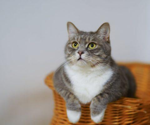 Les frais vétérinaires d'un chat sont-ils remboursés?